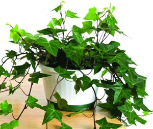 iedera_plante_care_purifica_aerul